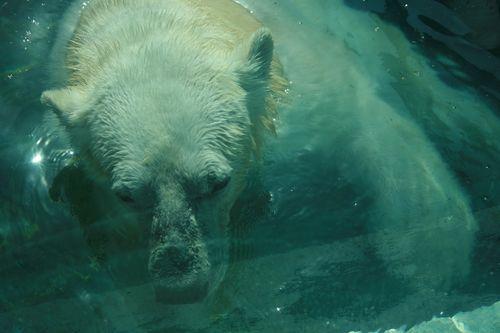 Mr polar bear